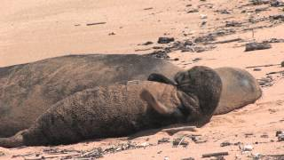 Endangered Hawaiian Monk Seal with Pup