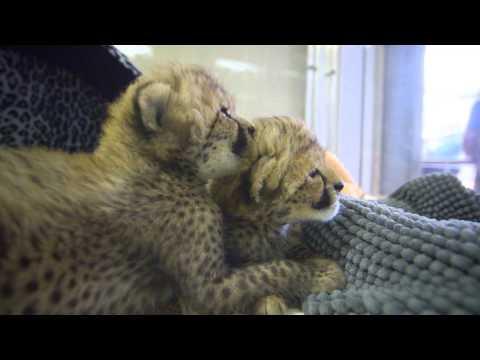 Thumbnail for Cat Video Cheetah Cub Sisters Spotted at the Safari Park
