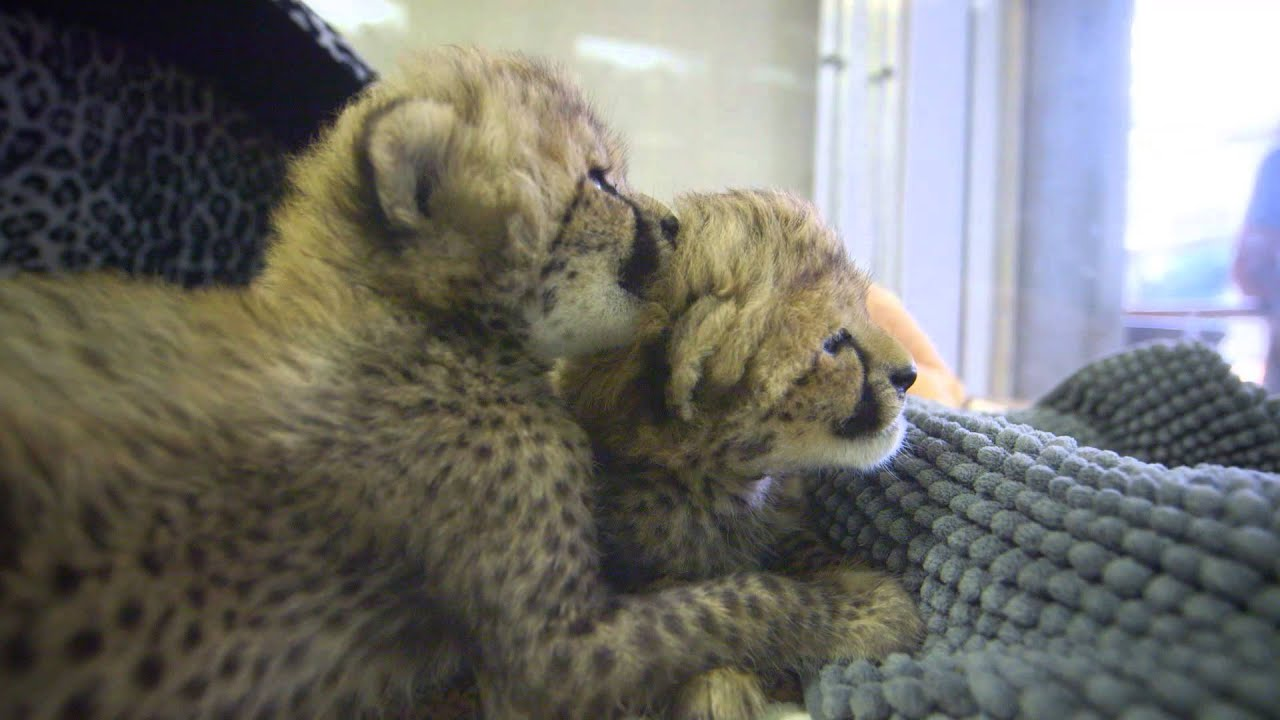 Cheetah Cub Sisters Spotted at the Safari Park