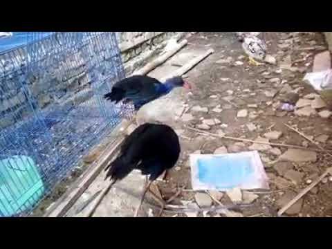 Sepasang burung mandar jinak bakal indukan