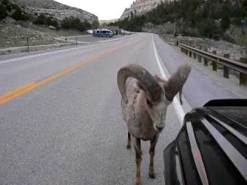 INSANE! WAIT FOR IT AT 1:21 Bighorn RAM NAILS Toyota 4Runner : 'RAMbunctious'