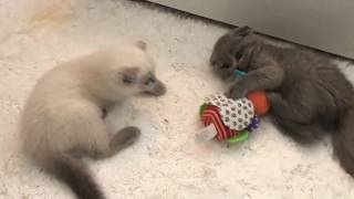 Смешные шотландские вислоухие котята играют - коты и кошки 2019