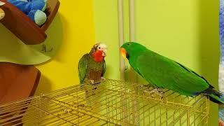 Благородный попугай и кубинский амазон вместе на прогулке
