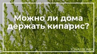 Можно ли дома держать кипарис? | toNature.Info