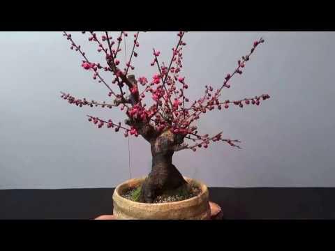 Plum Bonsai show in Japan ! Blossom. UME BON TEN 梅盆展 Part 6.