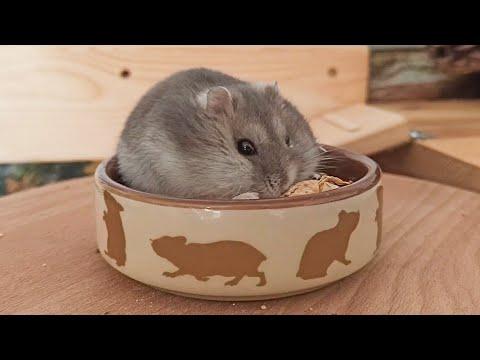 Hamster Wrestles A Peanut
