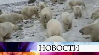 видео: На архипелаге Новая Земля ввели режим чрезвычайной ситуации из-за нашествия белых медведей.