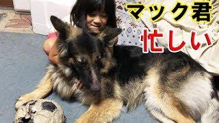 grandchild and #GermanShepherd dog#Akita Inu #JAPANESEAKITA 大型犬...
