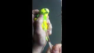 Как Правильно Сделать Укол Попугаю