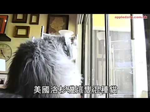 世上最長毛貓 通屋貓毛主人冧