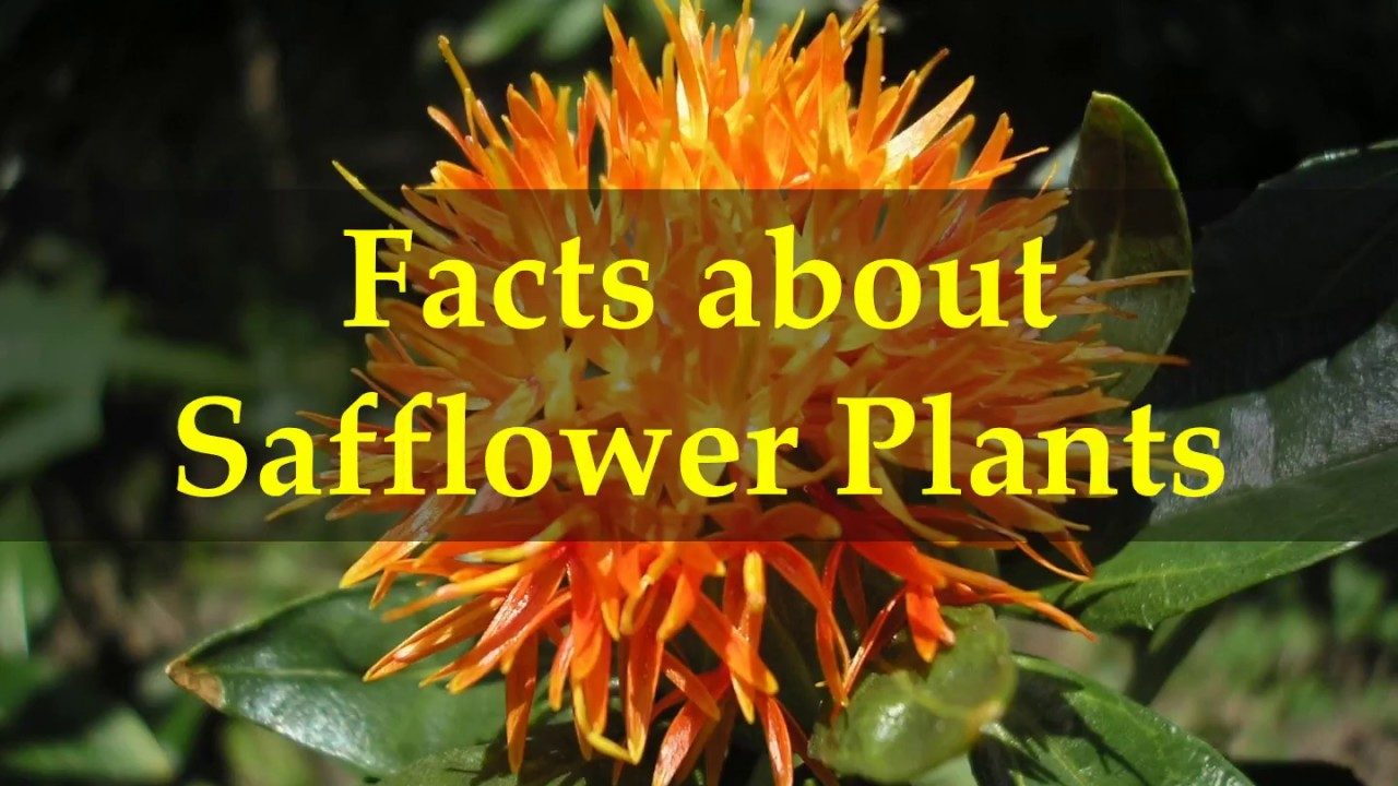 facts about safflower plants youtube