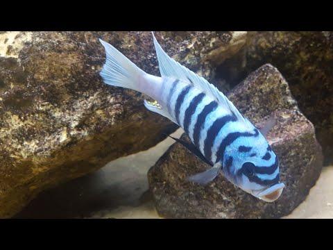 Metriaclima Zebra Chiluma Maison Reef Male