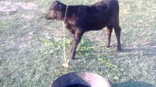 148 Adeel Ahmed dairy farm@depalpur,pakistan