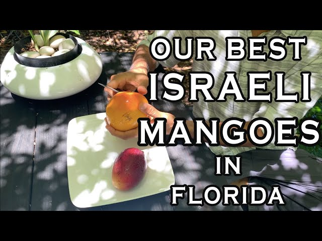 Mangoes From Around The World Episode 2: Best Israeli Varieties of South Florida