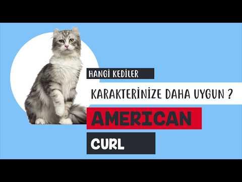American Curl kedisinin özellikleri