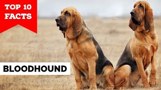 Bloodhound  Top 10 Facts