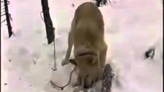 Охота на медведя  в берлоге!