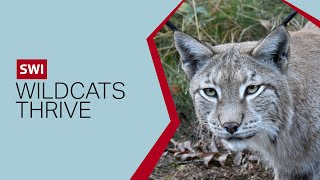 Lynx thrive in Switzerland 50 years after reintroduction