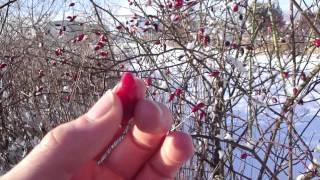 Hagebutte richtig roh essen - Schätze der Natur wieder entdecken - Zitrone des Nordens