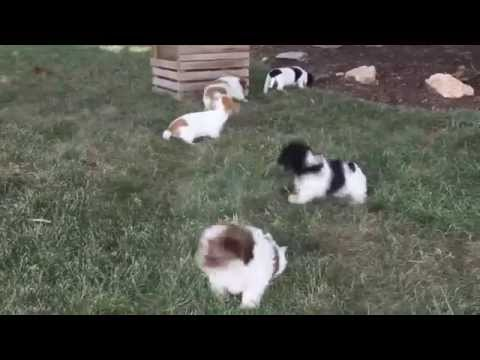 Havanese Mix Puppies For Sale