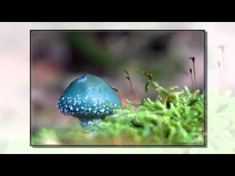 Psilocybe - fungi kingdom