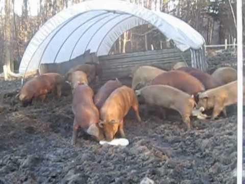 Vermont Whey Pigs 1