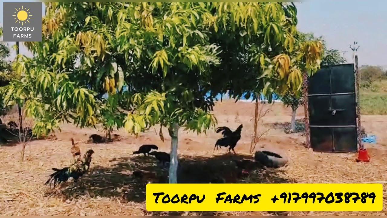 Free Range  - Pure Natu Kodi | Toorpu Farms | Hyderabad (+91 7997038789)