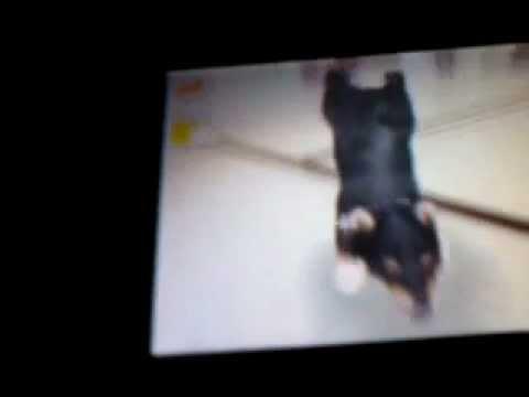 apprendre le poirier a son chien dans nintendogs - YouTube