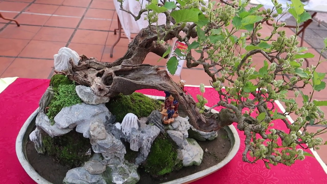 cây dâu bonsai trừ ma cực tốt cho phong thủy