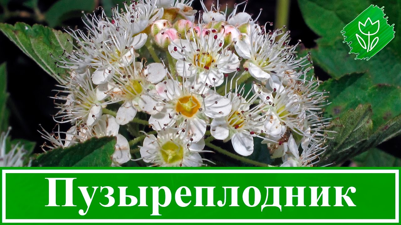СОРт Морозника. Кавказский!!! - YouTube