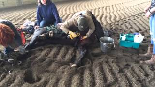Repeat youtube video *GRAPHIC* Equine Castration with the Henderson