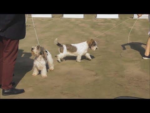 Малый вандейский бассет гриффон, видео с выставки собак