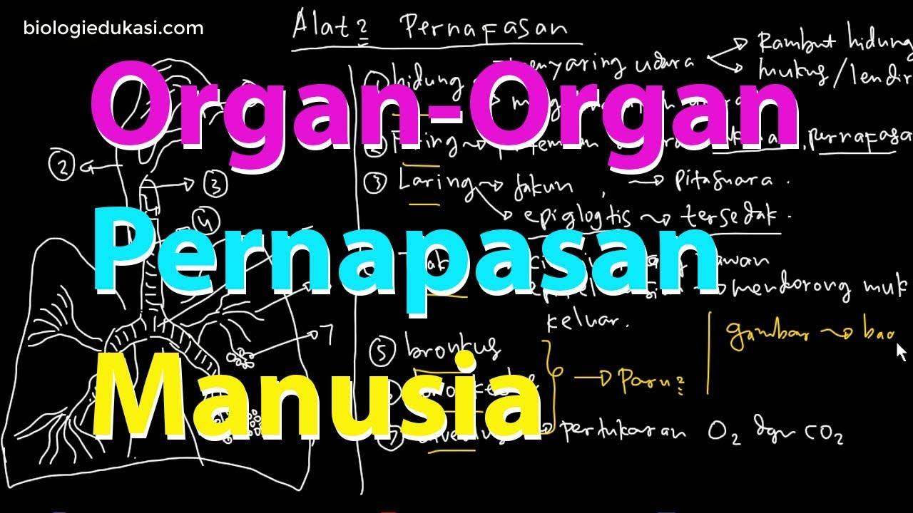 Sistem Pernapasan Manusia Organ Pernapasan Manusia Youtube