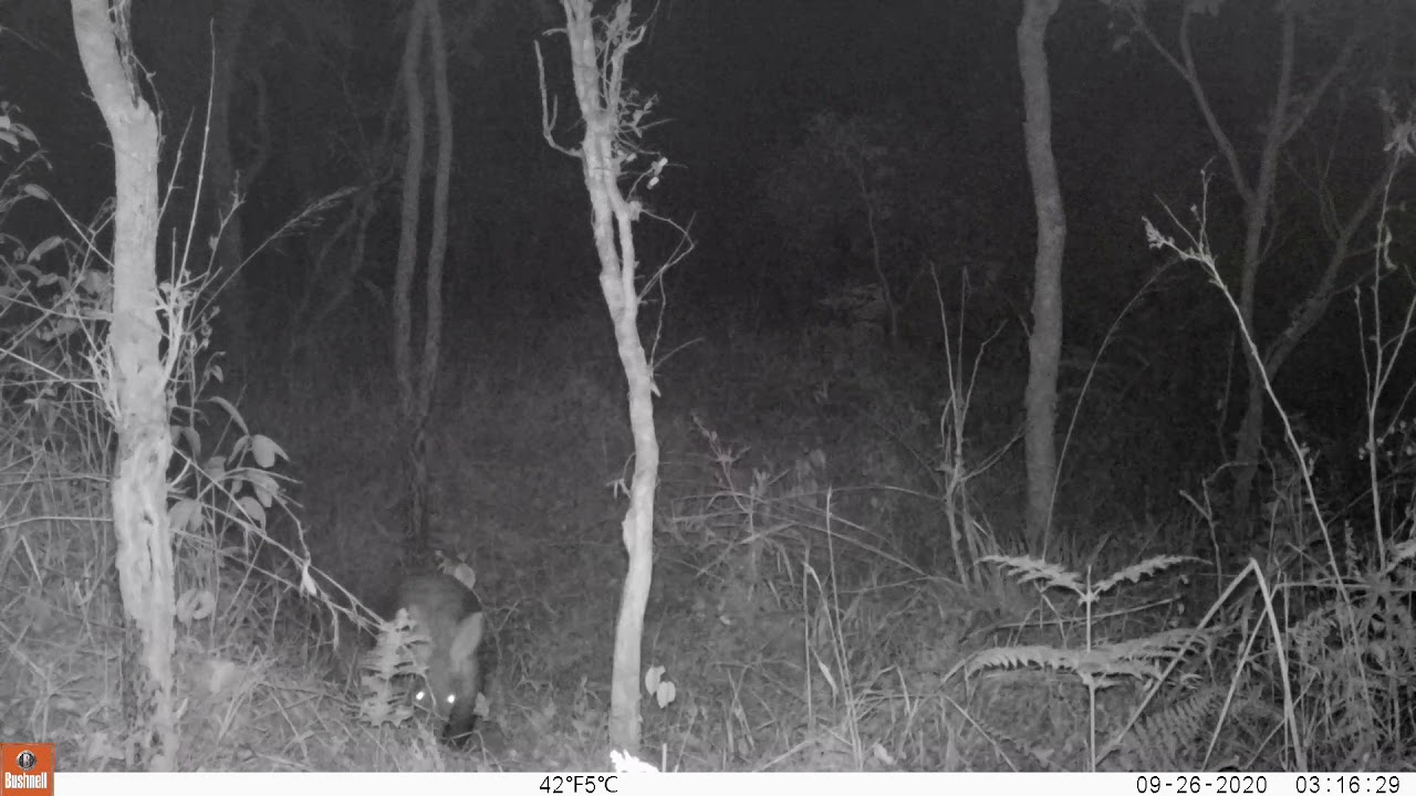 Aardvarks at Issa!!! (Camera trap footage from Sept 2020)