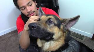 Cleaning My German Shepherd Dog's Ears | How to