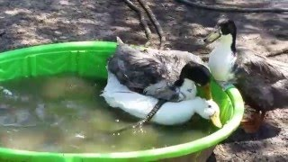 Ducks Mating Longer Version With Annotations