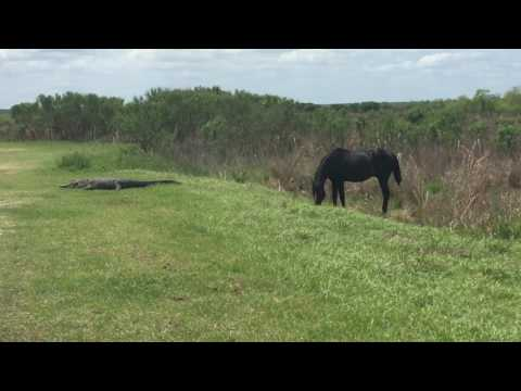 Horse attacks alligator! Payne's prairie 4/12/17