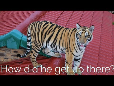 Getting a tiger of the roof of Your house !