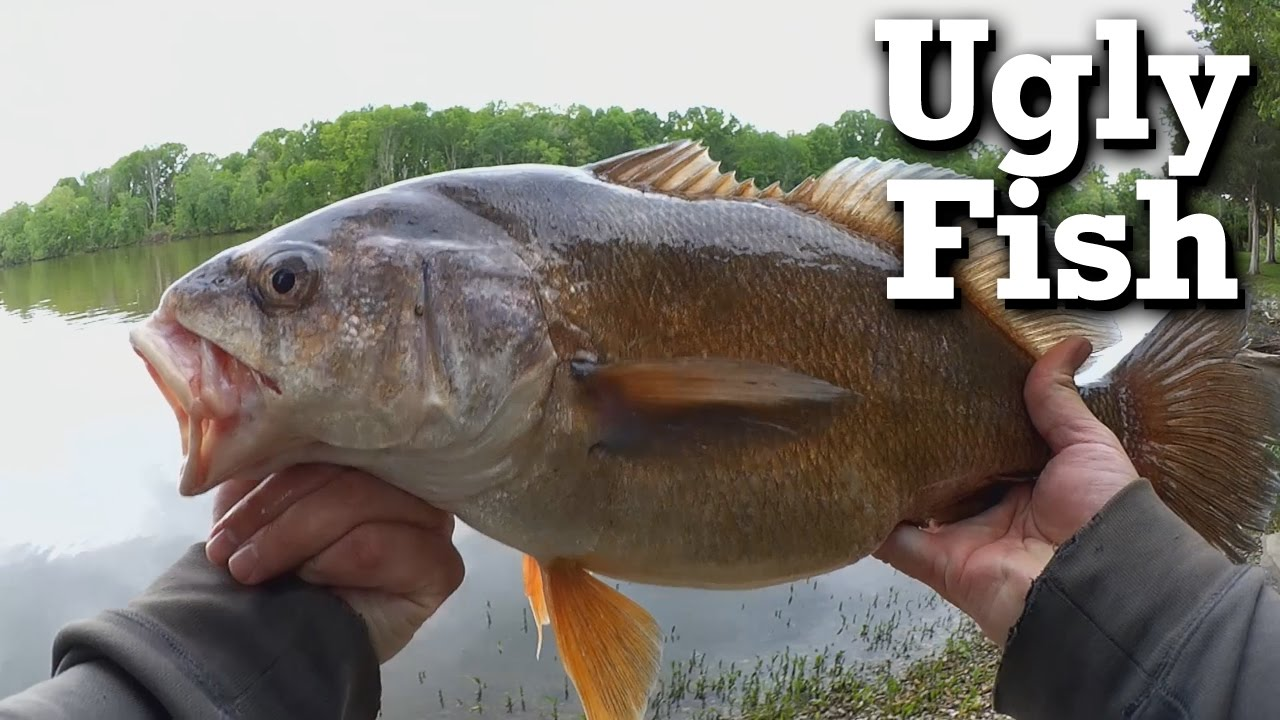 Ugly freshwater aquarium fish - Catching A Big Ugly Fish And Giving It Away