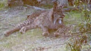 Lince Ibérico (Iberian Lynx) .m4v
