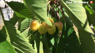 🇨🇦 Cây Anh Đào, Đào Tiên và Trở Lại Vườn Rau // My Fruit Trees & Vegetables Garden.