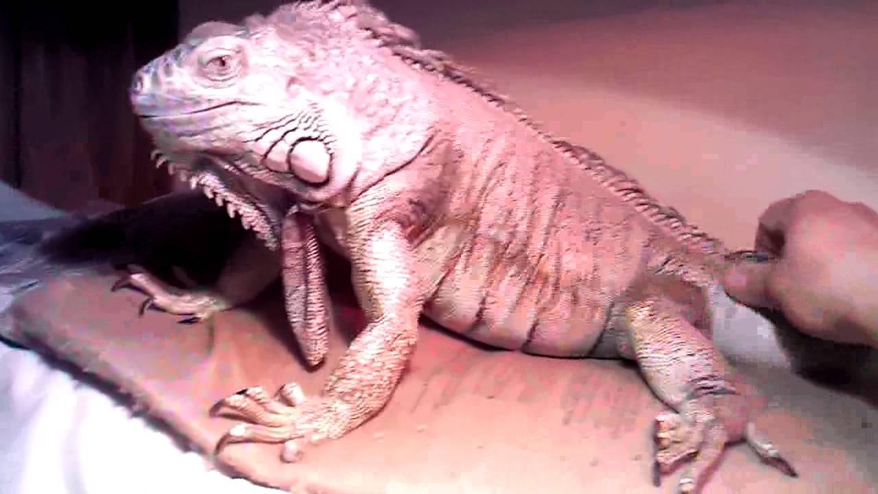 Green Iguana 4 1 2 Foot Long