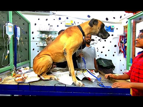 Story Of Two Great Dane Dog | Care and Management Of Great Dane Dog Breed|My Client Pets#13