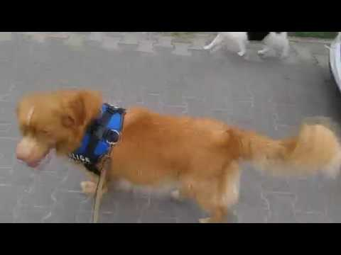 Nero Toller: dog walking with cat