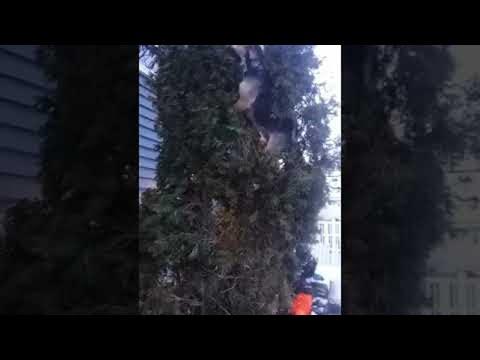 Who Knew Beagles Could Climb Trees? || ViralHog