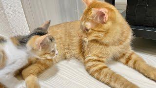 【3日目】先住猫が優しいのをいいことに調子に乗る新人猫