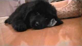 ニューファンドランド犬RIKUが我が家に来て1週間。小熊です。