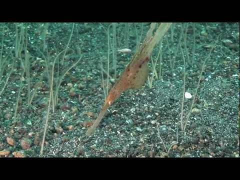 Ghost Pipefish (Geisterpfeifenfische)