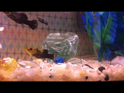 Live Aquarium In Action relaxing Fishtank molly fish classical music