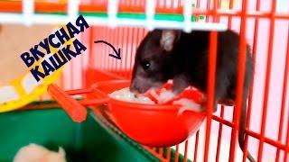 Маленькие Крысята едят кашку 🍚 Любимые питомцы 🌸 Крыски